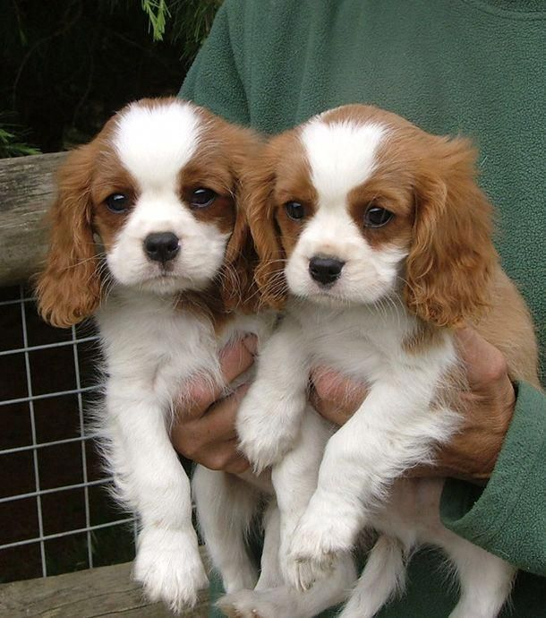 Cavalier King Charles Spaniel Graceful And Affectionate King Charles Puppy Cavalier King Charles Dog