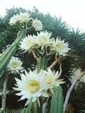 08 - ACHUMA. Flor utilizada como adorno y saborizante de los potajes en la gastronomía incaica.