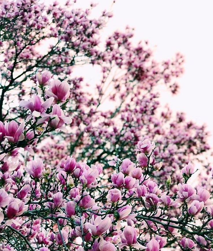 """334 Likes, 8 Comments - Free People Atlantic (@fpatlantic) on Instagram: """"Look up☝️the streets are in full bloom  #magnolia #lovefromfp :@kathleen_kayy"""""""
