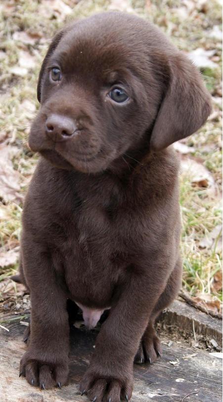 cachorro labrador,  marrón chocolate