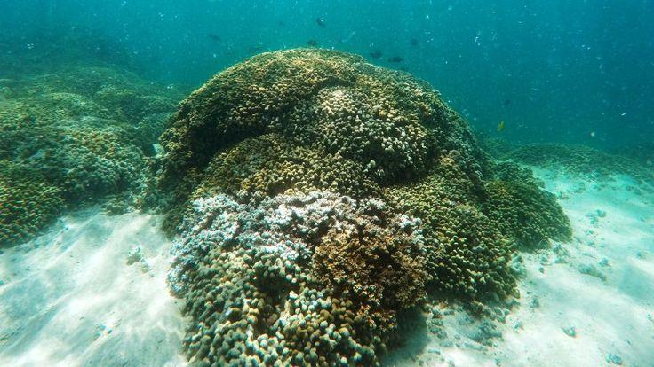 """Zucht von Superkorallen -  """"Wir beschleunigen die Evolution"""" -  Die immer wärmeren Ozeane lassen Korallen weltweit absterben. Sind die Nesseltiere überhaupt noch zu retten? Auf Hawaii suchen Biologen nach einer Antwort."""