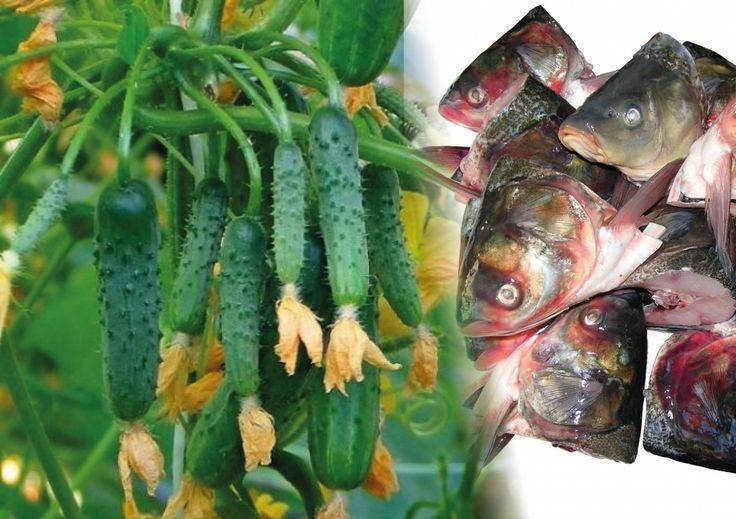 Здравствуйте! Хочу поделиться своим опытом оживления старых огуречных лиан при помощи... рыбьих голов. Может, это звучит и по-варварски, но подкормка из рыбьих голов дает отличный результат. Сейчас я …