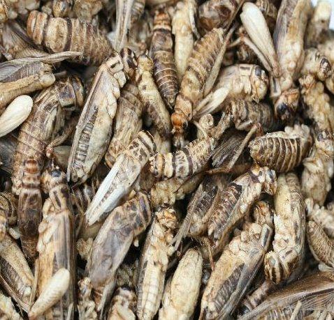 Krekel koekjes om zelf te maken! Leuk om kennis te maken met insecten eten!