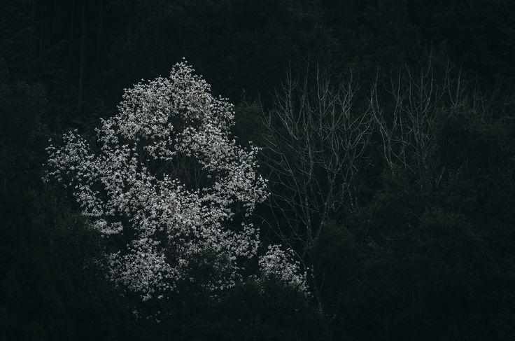 Kobushi blossom   en.wikipedia.org/wiki/Magnolia_kobus