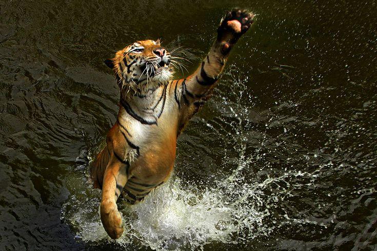 """""""Tiger Dance"""" by Jeffry Surianto, via 500px."""