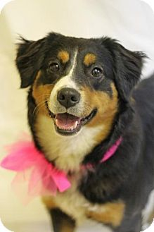 Spring Valley, NY - Australian Shepherd/English Shepherd Mix. Meet Lola, a dog for adoption. http://www.adoptapet.com/pet/12507912-spring-valley-new-york-australian-shepherd-mix