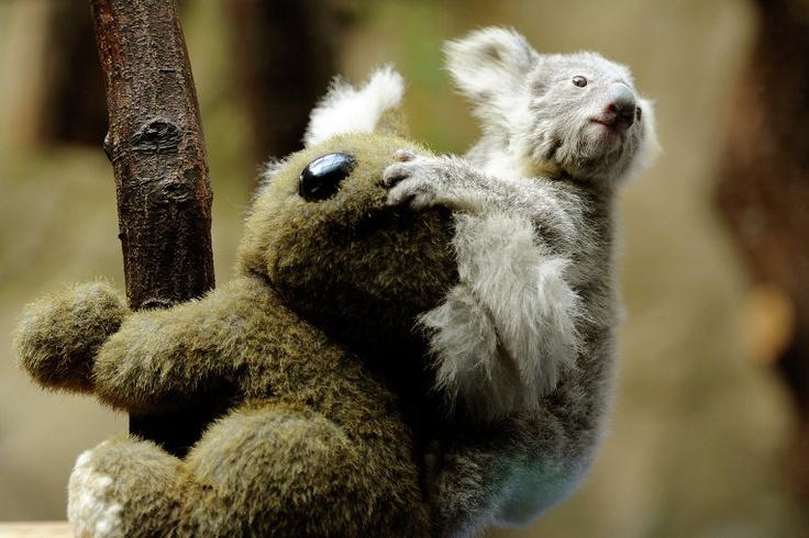 Детеныш коалы в зоопарке Дуйсбурга, Германия,