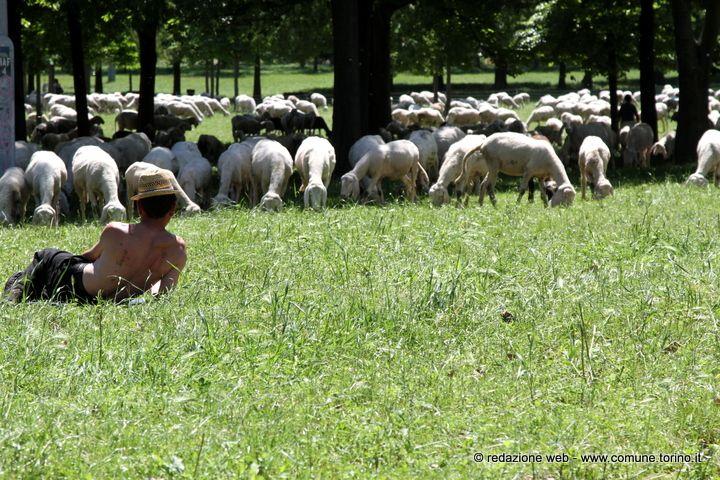 Un gregge di pecore al parco della Colletta #Torino. Anche quest'anno sono tornate le pecore nei parchi cittadini. Si tratta di una modalità di mantenimento delle superfici a prato che, nel rispetto delle caratteristiche naturalistiche, dà un valido supporto per lo sfalcio dell'erba, il contenimento delle malerbe e, nel contempo, per la concimazione del terreno.