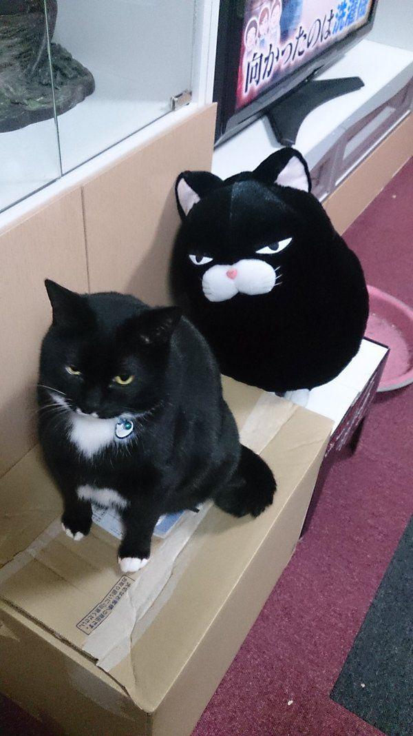 ゆりも @akahina1108 2月10日 この前、UFOキャッチャーのぬいぐるみがあまりにもうちの猫にそっくりだったので頑張って取ってきた!目付き悪いいいい