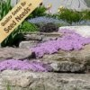 Amazon.com: 20,000 Seeds of Creeping Mother of Thyme Seeds - The Ultimate Low-maintenance Groundcover for the Gardener That Wants a Fast Growing, Hardy Perennial with a Beautiful Color and a Wonderful Lemony Fragrance! By Zziggysgal: Patio, Lawn & Garden