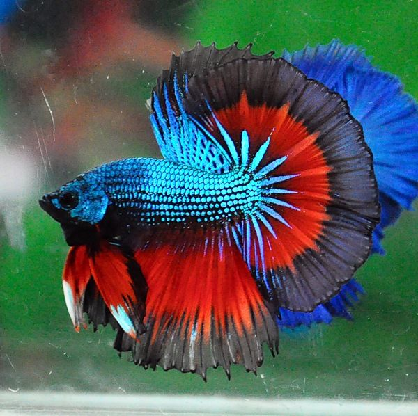 389 best images about alpha bettas on pinterest auction for Beta fish water
