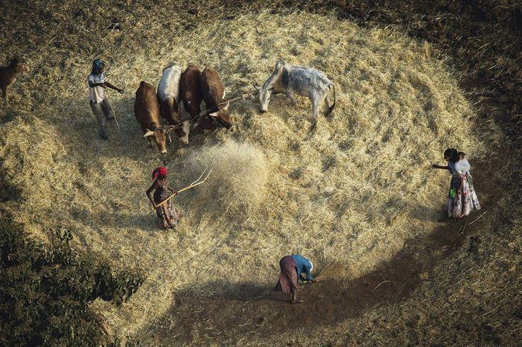 Photographie d'Art de Yann ARTHUS-BERTRAND, foulage des céréales au sud de Adigrat dans la région Tigré (Tigray), L'Ethiopie est un pays essientiellement agricole et représente 85% des emplois.