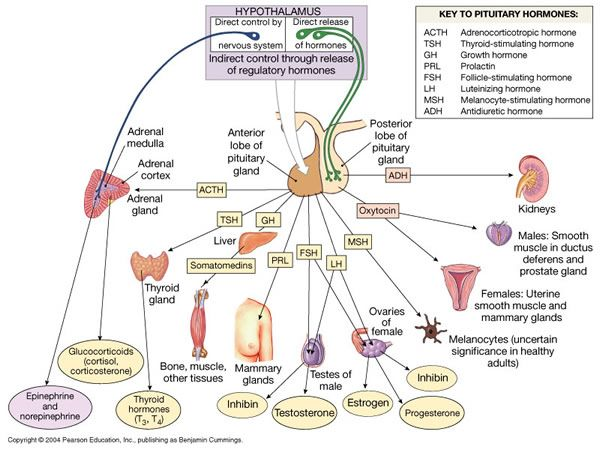 26 best the endocrine system images on pinterest endocrine system chapter 18 the endocrine system ccuart Image collections