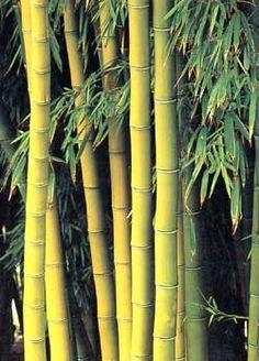 How to grow bamboo indoors  -- (Bambusa multiplex 'Alphonse Karr')