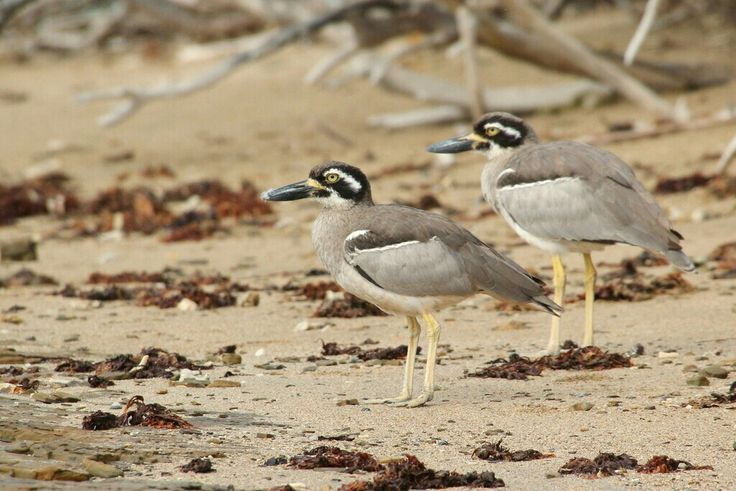 Beach Stone Curlews.  Photographed by Lee Mason.^