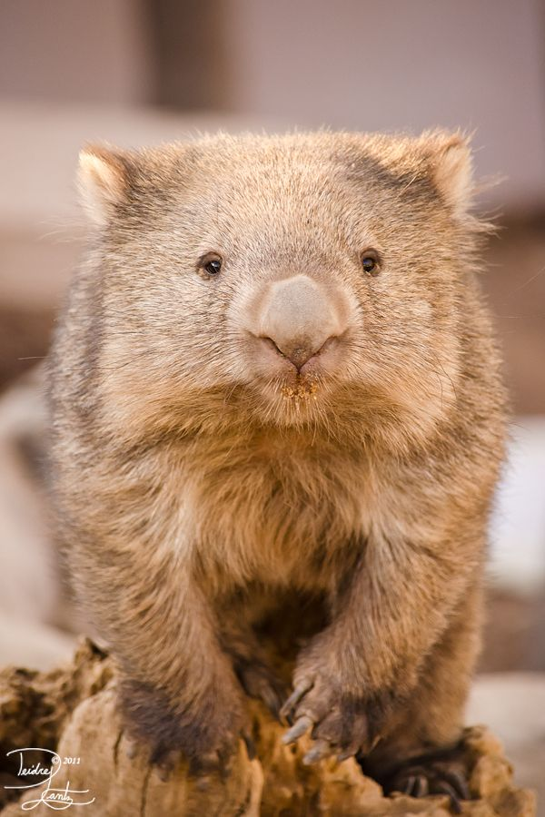 Tasmanian wombat. I like this name. Think I will name my first male child Wombat.