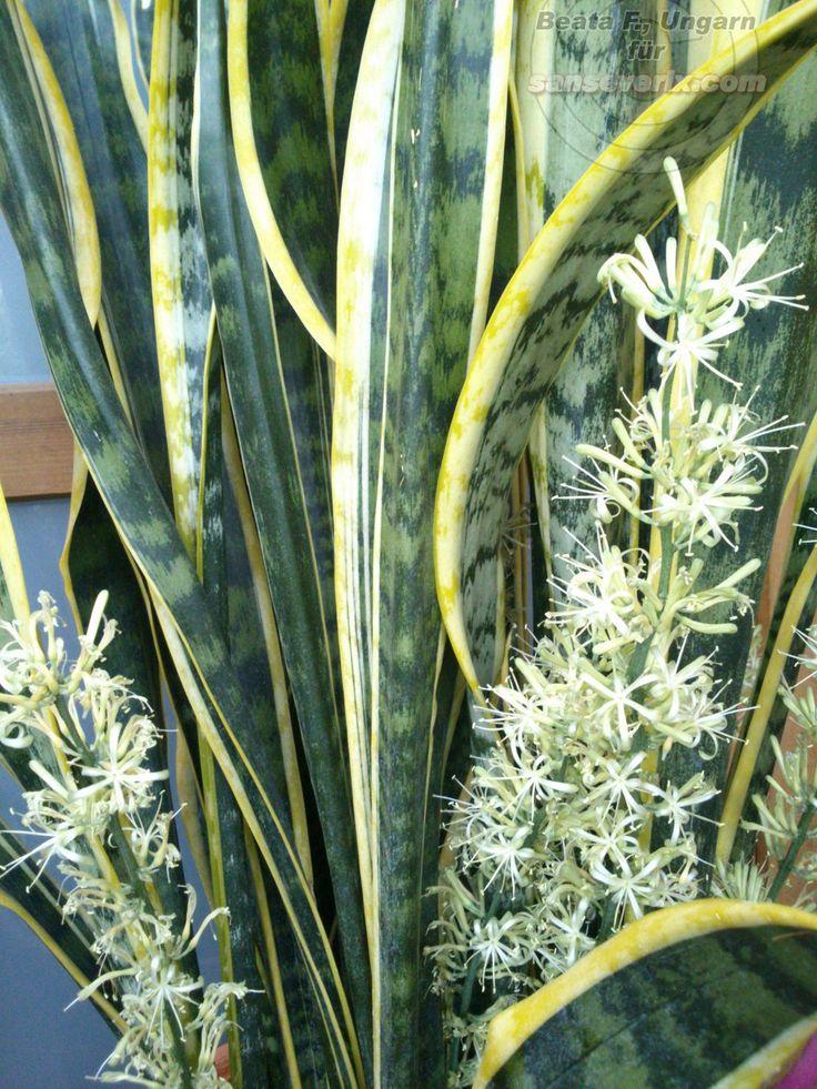 ber ideen zu sansevieria trifasciata auf pinterest sukkulenten pflanzen und kaktus. Black Bedroom Furniture Sets. Home Design Ideas