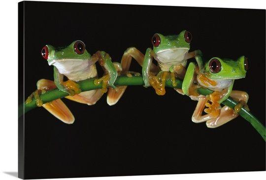 Red-eyed Tree Frog three males sitting on a stem, Soberania National Park, Panama