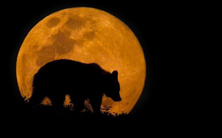 Силуэт медведя на фоне восходящей Луны. Снимок сделан в природном зоопарке «Кабарсено» в Испании. Mario Moreno.