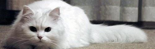 les 25 meilleures id es de la cat gorie chats angoras turc sur pinterest chat angora turc. Black Bedroom Furniture Sets. Home Design Ideas