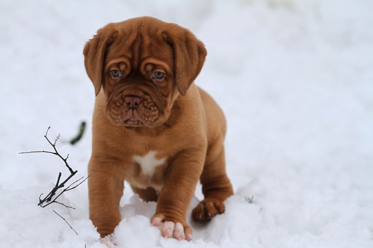 Dogue de Bordeaux.