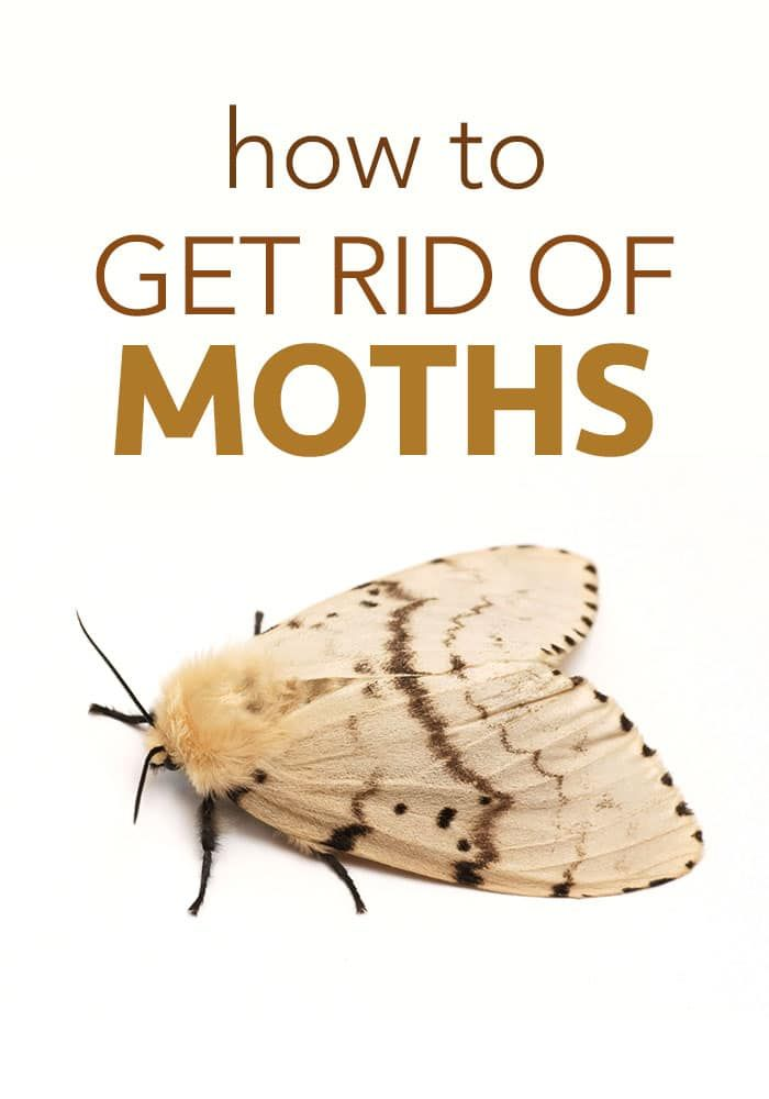 How To Get Rid Of Moths Getting Rid Of Moths Moth Pest Control