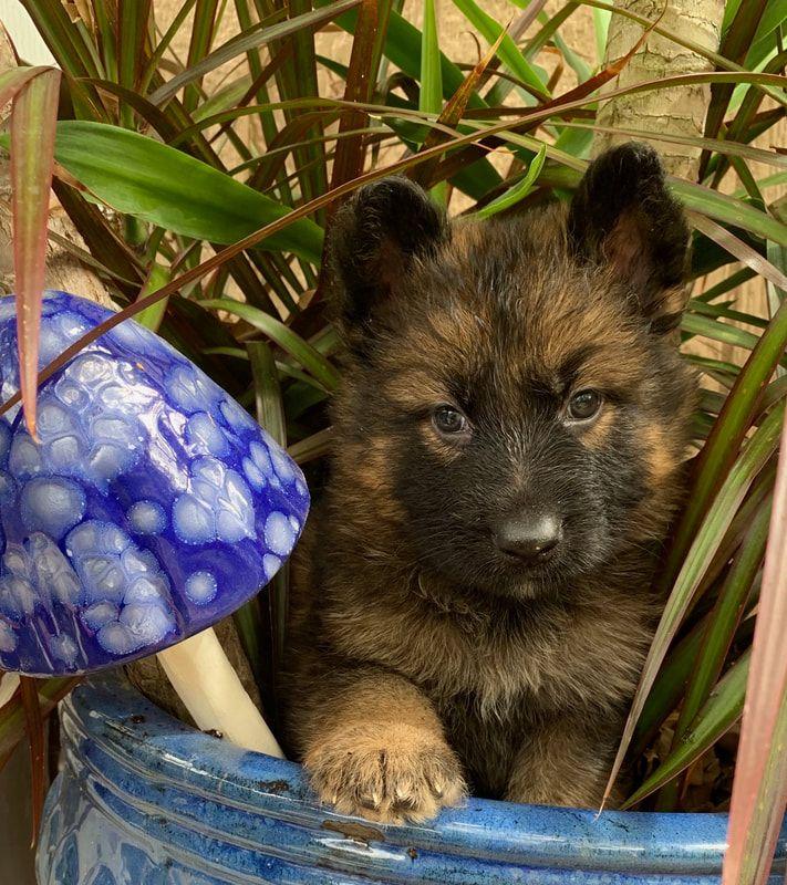 German Shepherd Puppies For Sale in Florida Ruskin House