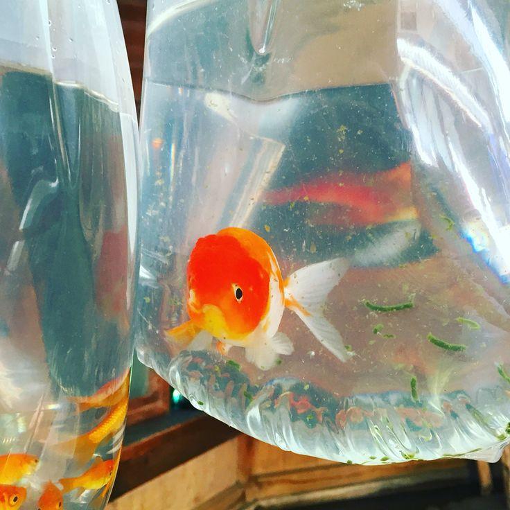 金魚の町なので、格安で高級金魚も手に入ります。
