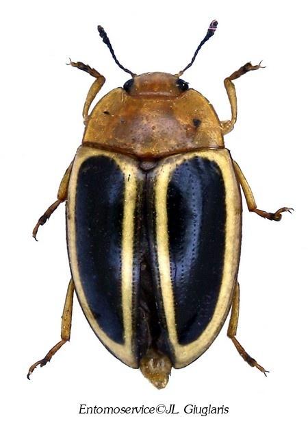 Iphiclus (Harodactylus) egensis                                                                                                                                                                                 Plus