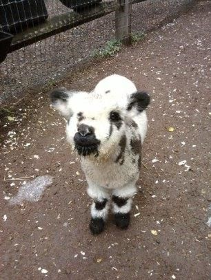 I so want a Olde English Babydoll Lamb/Sheep once we get our own little plot of land.