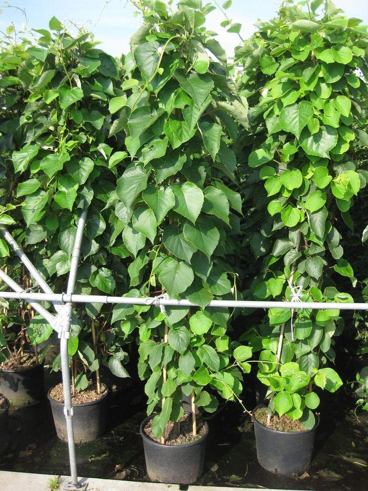 Actinidia deliciosa 'Jenny' / Kiwi 'Jenny' – Gut verzweigte Schlingpflanze, die bis zu 5m hoch wird. Walnussgroße Kiwis als Früchte, feinsäuerlicher Geschmack