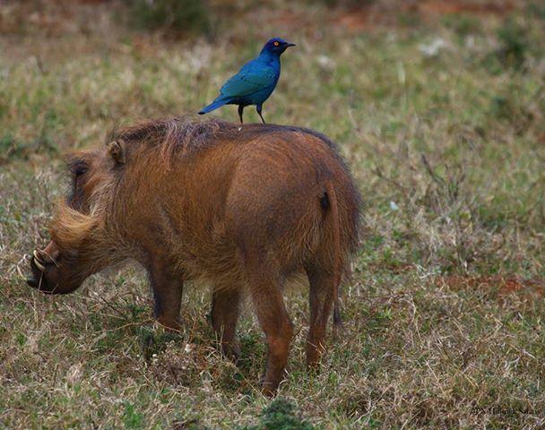 Mutual friends - warthog and a Glossy Starling on Amakhala Game Reserve