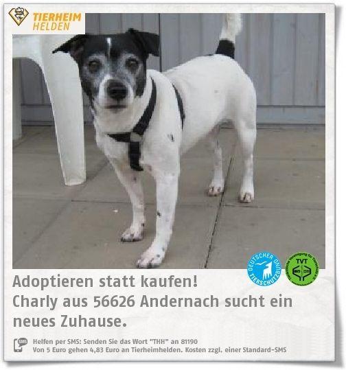 """Charlys Besitzer sind gestorben, sodass er ins Tierheim Andernach kam.  http://www.tierheimhelden.de/hund/tierheim-andernach/jack_russel_terrier/charly/9324-0/  Charly hat noch nicht allzu viel Erziehung genossen und ist auch durch das lange Zusammenleben mit seinem Vorbesitzer eher ein """"Männerhund"""". Vor diesen hat Respekt, ein wenig Hunde-1x1 würde ihm allerdings nicht"""