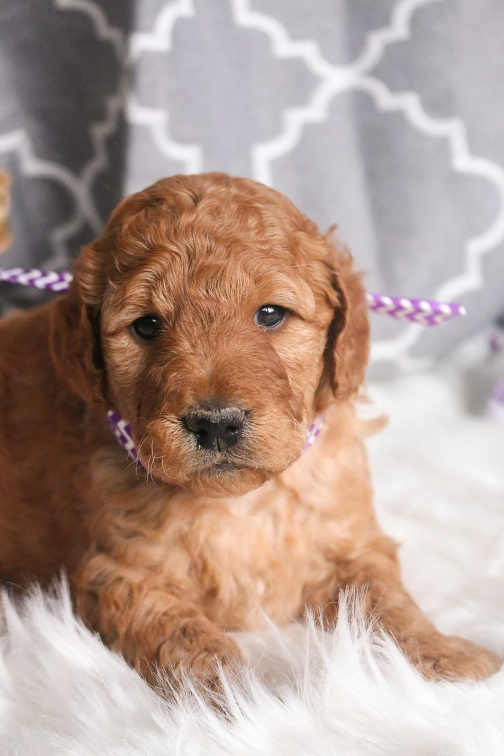 Meet the MiniGoldendoodle, a Sweet natured and even