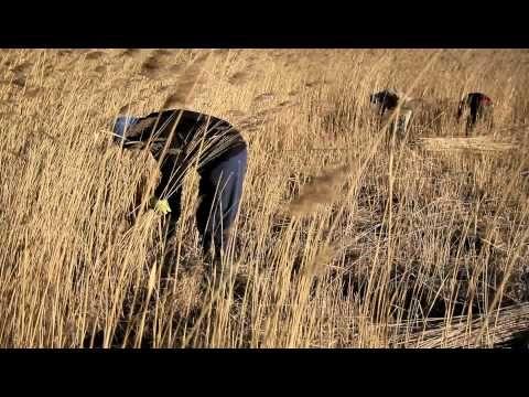 ▶ Kosení rákosu - YouTube