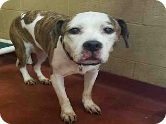 LULU - URGENT SENIOR ALERT - Fulton County Animal Services, Atlanta, GA - ADOPT OR FOSTER - Senior Spayed Female American Pit Bull Terrier Mix