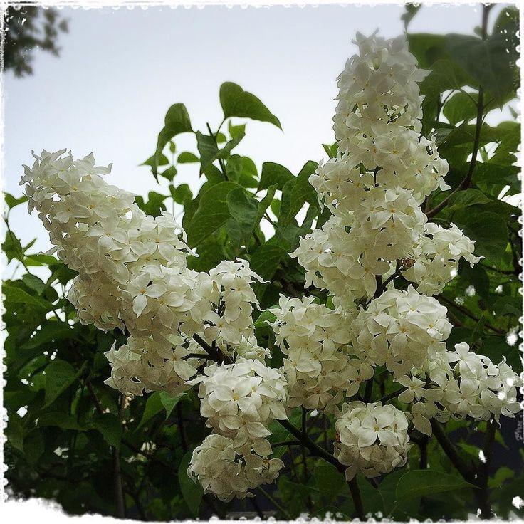 真っ白な #ライラック  #instaflower #instaflowers #朝 #ウォーキング