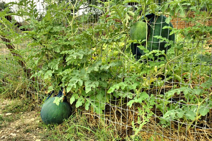 Watermelon Vine Support: Tips For Growing Watermelon On A Trellis
