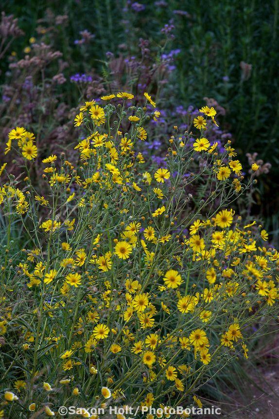Madia Elegans, (Elegant Tarweed) Yellow Flowering Wildflower With  California Native Plants In Pollinator
