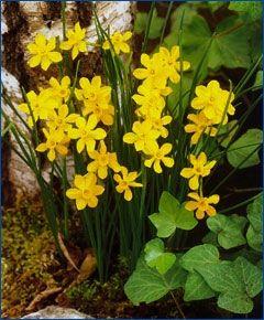 Narcissus jonquilla simplex