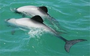 Protect Critically Endangered Dolphins from Oil Exploration