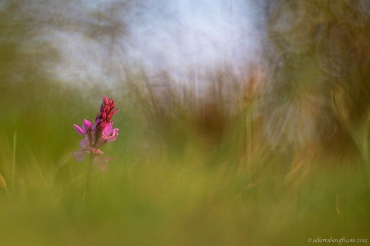 Orchis by Alberto Baruffi on 500px