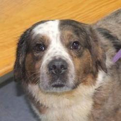 Robinson, Illinois - Shepherd (Unknown Type). Meet Larry, a for adoption. https://www.adoptapet.com/pet/18663889-robinson-illinois-shepherd-unknown-type-mix