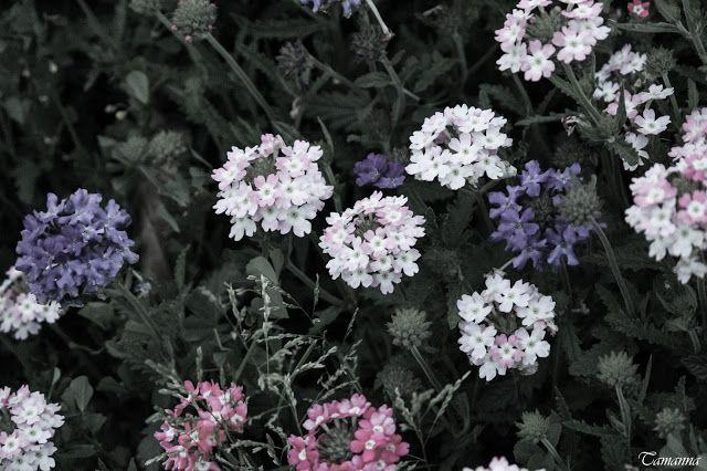 Tamanna S: When flowers bloosom in Bougainvillea Garden - Nat...
