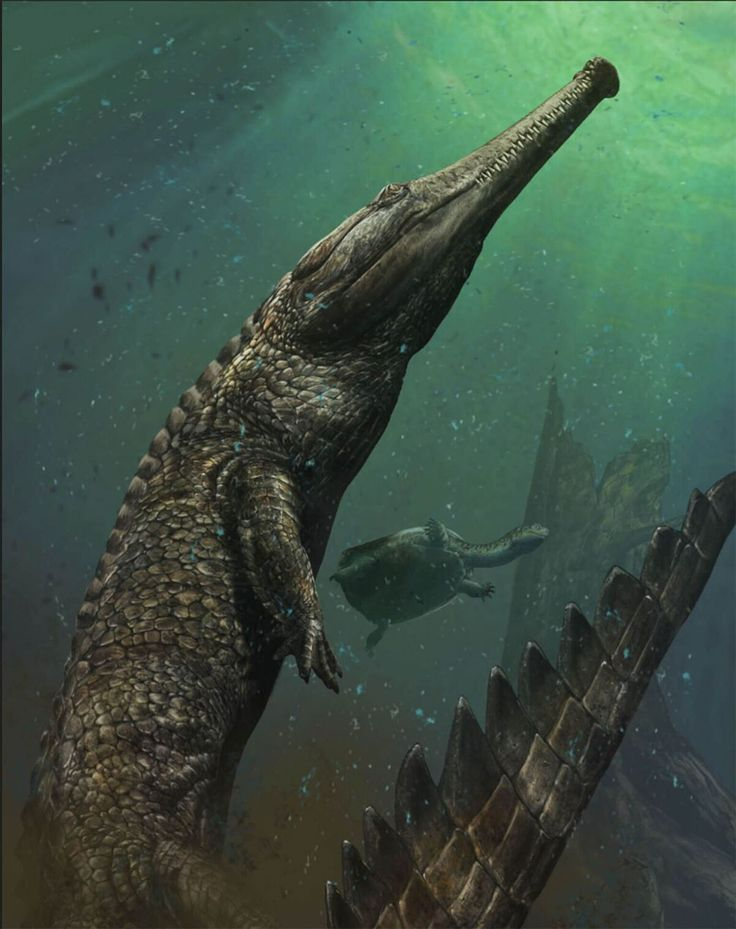 Illustration of a crocodile The biggest sea-dwelling crocodile ever found has turned up in the Tunisian desert. The whopper of a prehistoric predator grew to over 30 feet long (nearly ten meters) and weighed three tons.  Paleontologists have dubbed the new species Machimosaurus rex and describe it Monday in the journal Cretaceous Research.