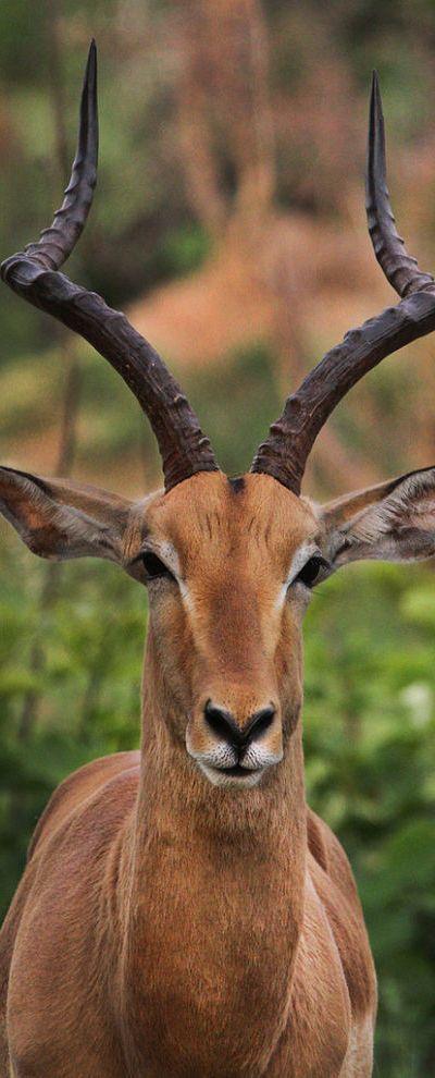 Noble impala at Kruger National Park in South Africa • photo Steve Evans Flickr   symmetry