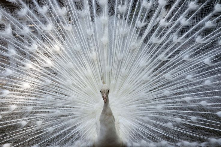 Seekor burung merak mengembangkan bulu ekornya di kebun binatang Nogeyama di Yokohama, pinggiran Tokyo.