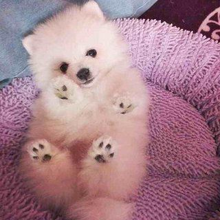Tinniest Teacup Baby Pomeranian Girls (only 1 Left). 3 teacup miniture pomeranian girl are available(only one left) for 5* life time home.All are ice-cream White. they are like a polar bear. currently 750grams in weight. they wont be more than 1.5/2kg when grown up. (mum is 1.9kg and dad is 1.7kg) KC register and they come with a passport. and their health check card. Also we will send these adorable babies off with a puppy pack to ensure that all the new owners have the essentials they need…