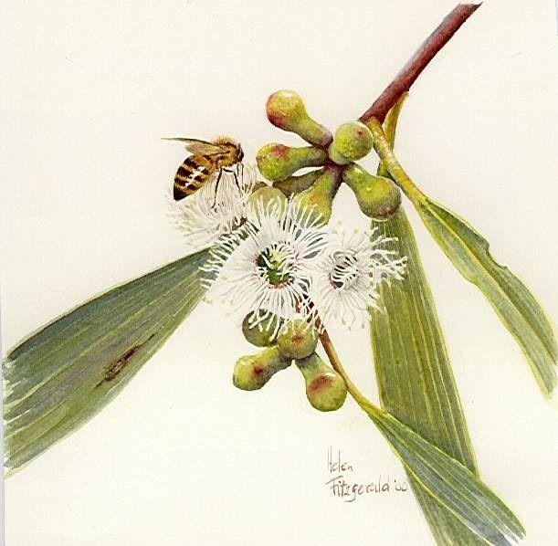 E paucifloria F65   Helen Fitzgerald - Botanical & Wildlife artist   Helen Fitzgerald
