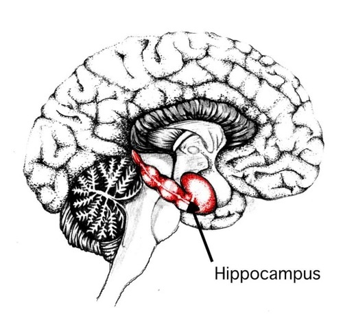 Do you know what the hippocampus is responsible for? http://blog.myelephantbrain.com/post/43158561199/remember-remember